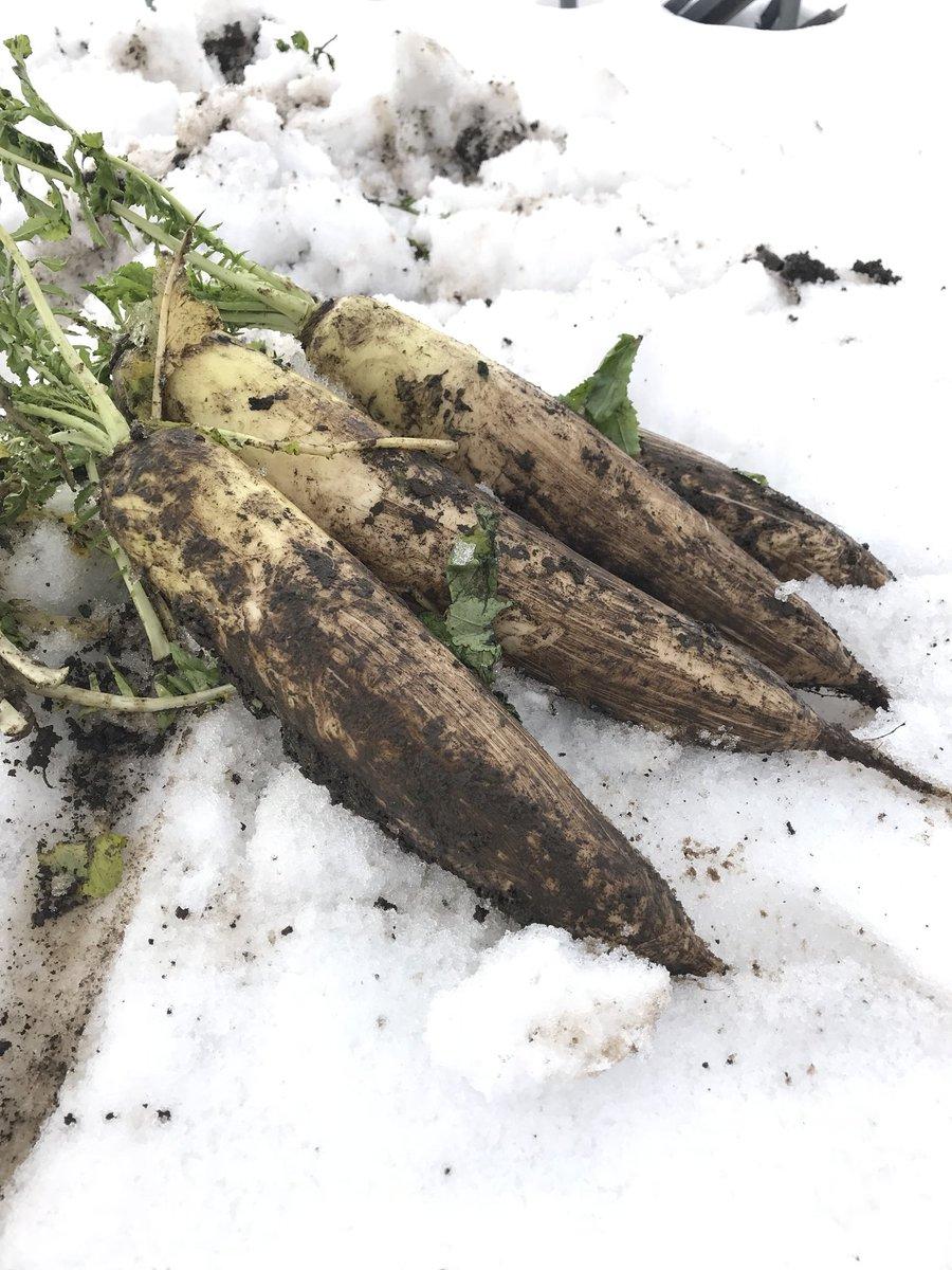 雪下野菜は甘くてみずみずしい!